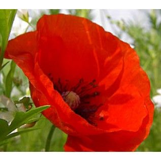 Red Poppy: Zone 6, annual, summer blooms, full or half sun, deer resistant, attracts hummingbirds and butterflies.  Fell in love with them while attending watercolor workshops in Taos and vacationing in Colorado in the summer.