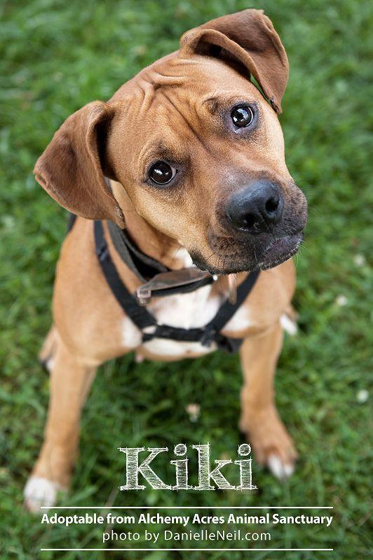 Alchemy Acres Dogs Cats For Adoption Ohio Pet Photographer Boxer Rescue Dogs Pet Photographer