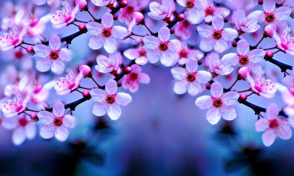 100 Wallpaper Bunga Sakura Cantik Paling Baru Cherry Blossom Wallpaper Cherry Blossom Flowers Cherry Blossom Background