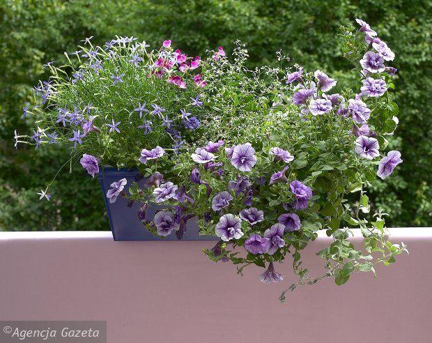 Druga Propozycja Na Balkon Plants Purple Greens