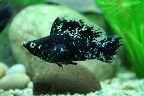 9 Best Algae Eaters for Freshwater Aquariums - ClubFauna