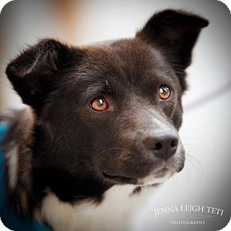 Ears defying gravity Pets, Border collie dog, Border collie