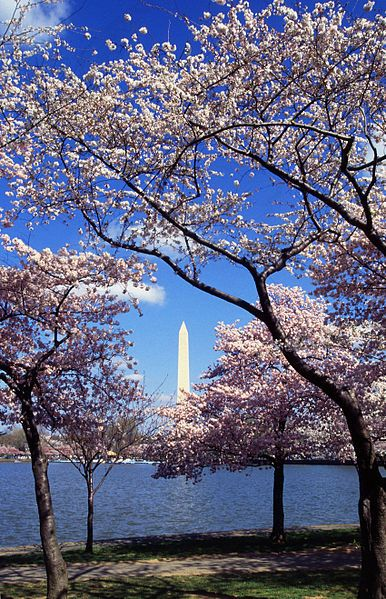 Washington D C Travel Cherry Blossom Festival Japanese Cherry Tree Blossom Trees