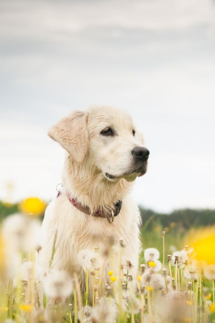 Young Dog On The Flower Meadow Goldenretriever In 2020 Golden Retriever Labrador Retriever Retriever