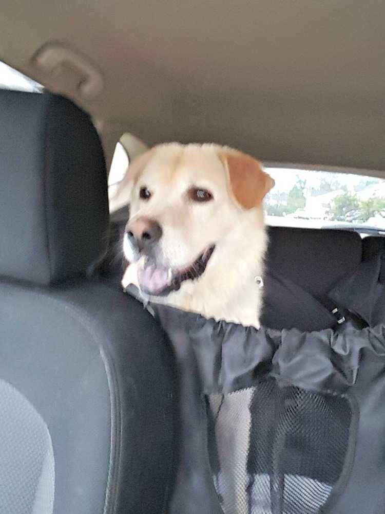 Golden Labrador dog for Adoption in Durham, NC. ADN718261