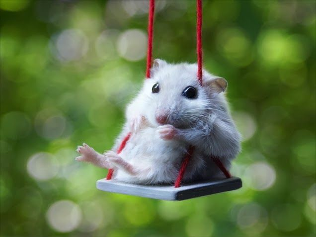 Fun Animals Wiki Videos Pictures Stories January 2014 With Images Cute Animals Funny Hamsters Funny Animals