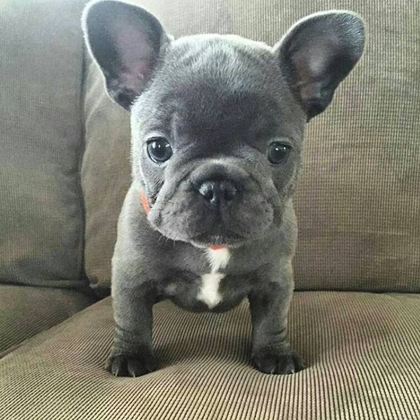 Blue French Bulldog Puppy Frenchbulldogpuppy Cute Baby Animals Blue French Bulldog Puppies French Bulldog Puppies