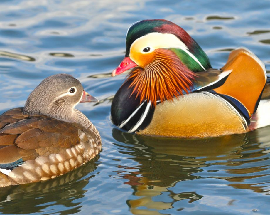Male et femelle mandarin sur le bassin la ferme de beaumont les canards mandarin et carolin - Bassin canard d ornement pau ...