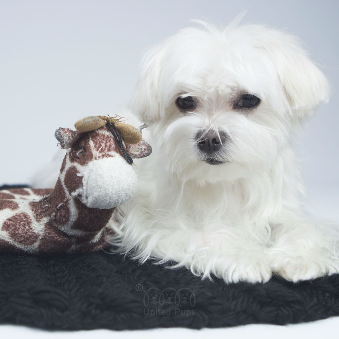 I don't understand why mom keeps looking for a replacement giraffe for me! I know this one is gross and stinky but...this is my forever love! #foreverlove #toys #arodwang #maltese