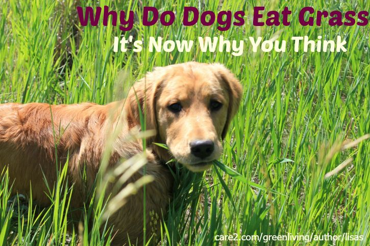 Why Do Dogs Eat Grass? It's Not Why You Think Dogs