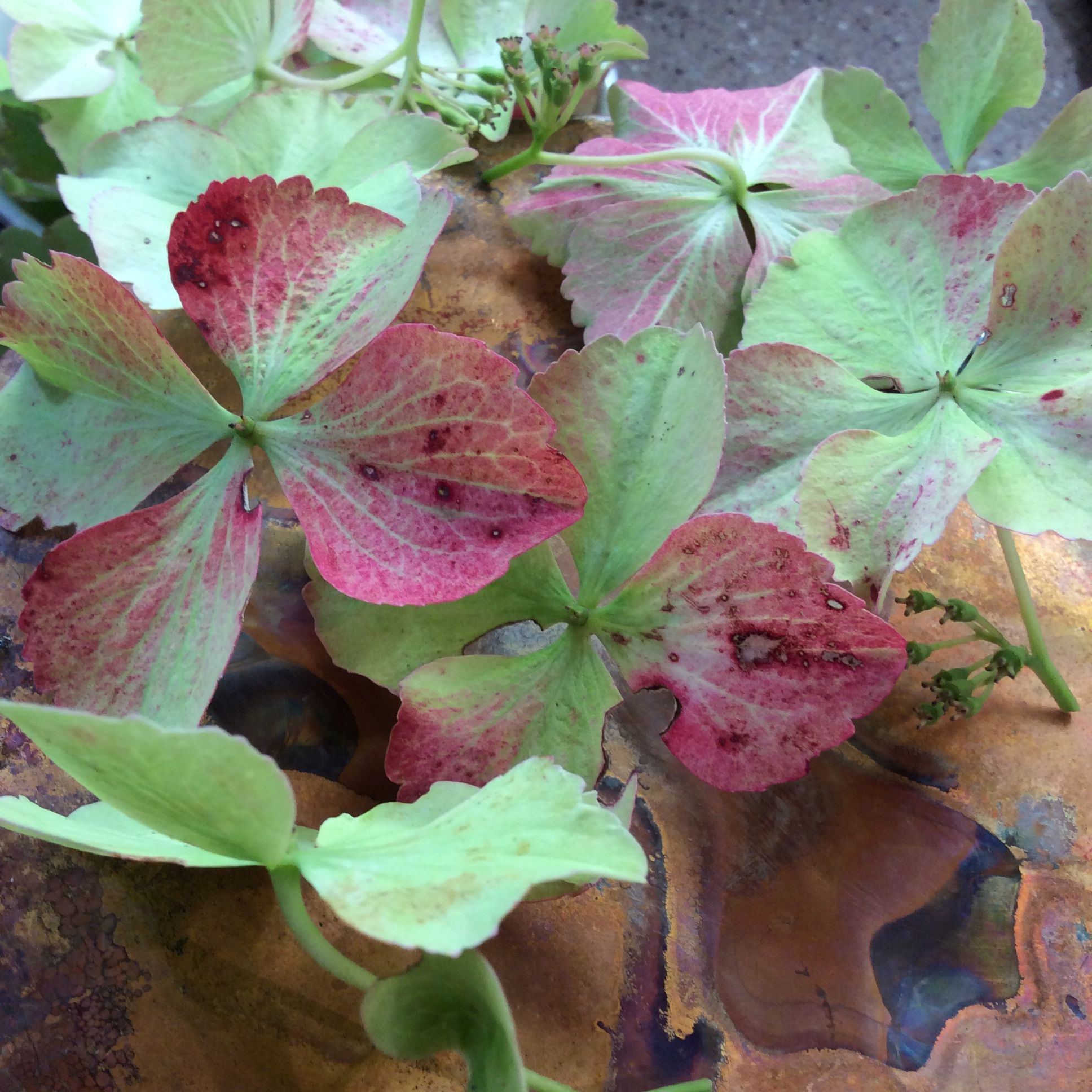 Another Variety Of Hydrangea In Autumn Normally White With A Pink Edge At The Height Of Summer These Turn Green Before Fading In Hydrangea Beautiful Green