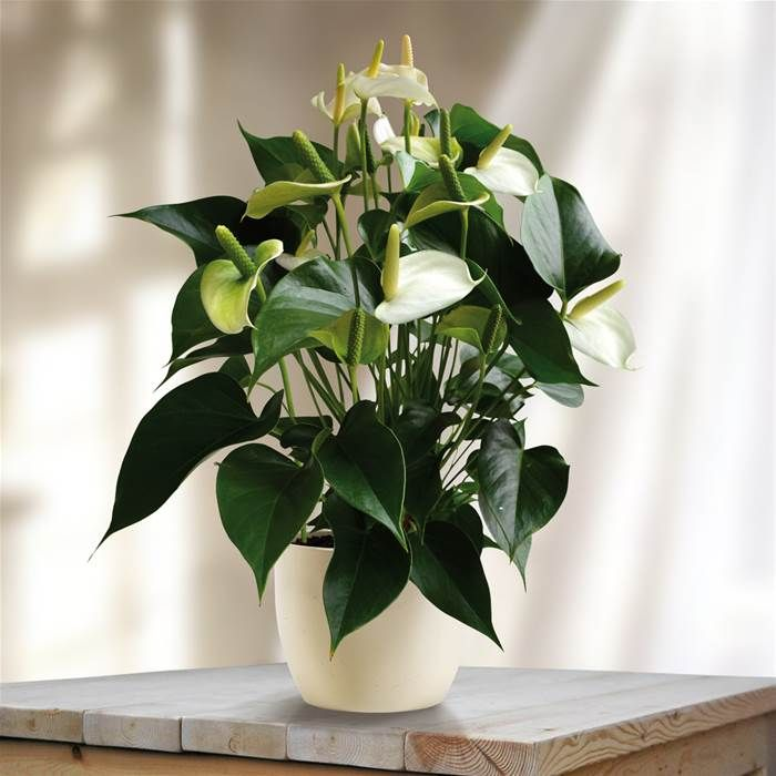Anthurium White Champion White Plants Plants Flamingo Plant