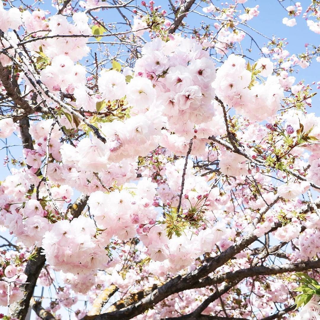 The Cherry Blossom Trees In Ronda Were Just A New Blog Post Went Up Today With A Little Photo Diary Of Our Trip Ther Cherry Blossom Tree Instagram Posts Photo
