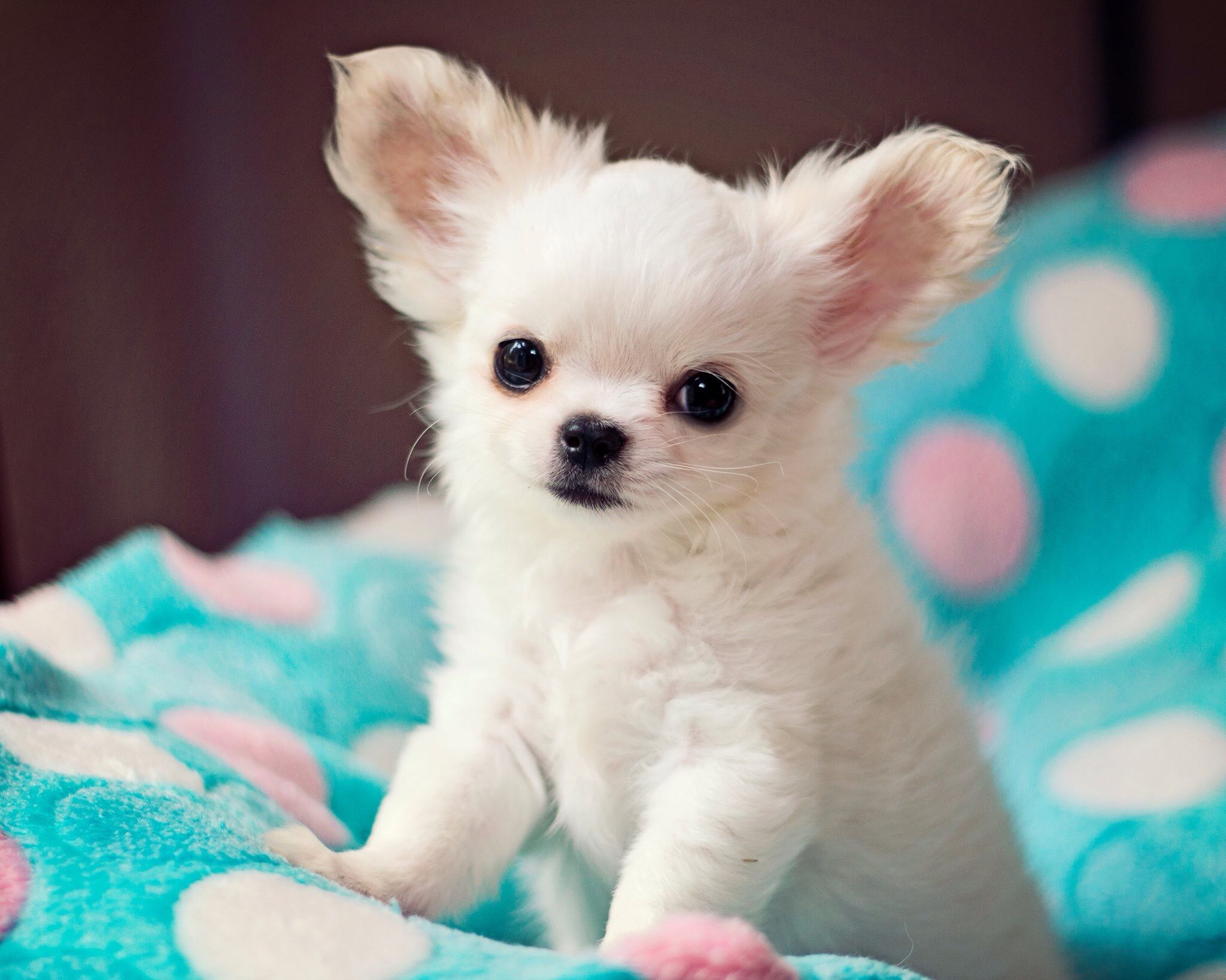 Popular Colors And Markings Of Chihuahua Dogs Chihuahua Puppies