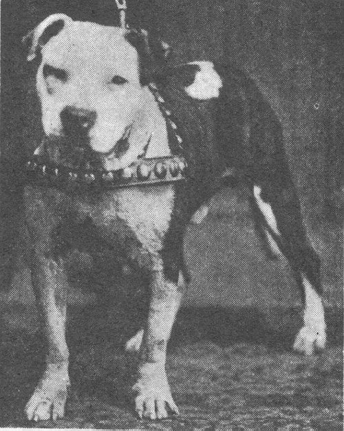 Colby S Bunch Vintage Dog Dog Line American Pitbull Terrier