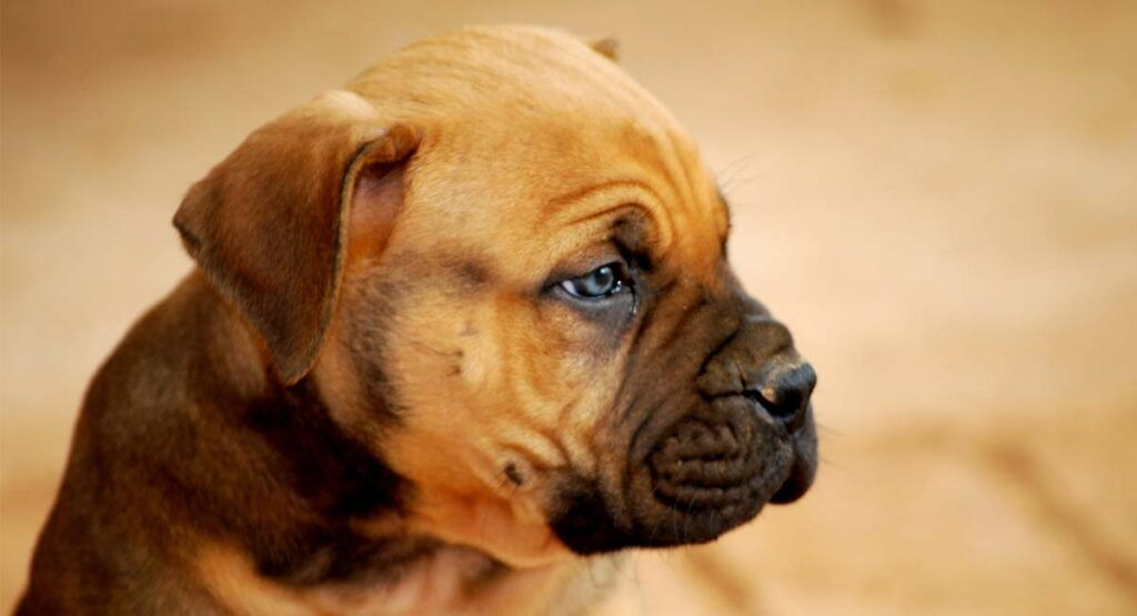 Boerboel Dog Breed Information Center For The South African