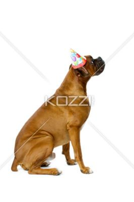 Boxer With A Birthday Hat