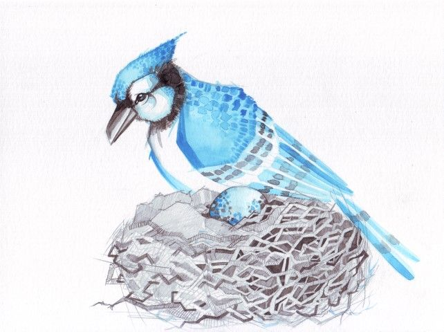 Blue jay watercolor Anneris Kondratas