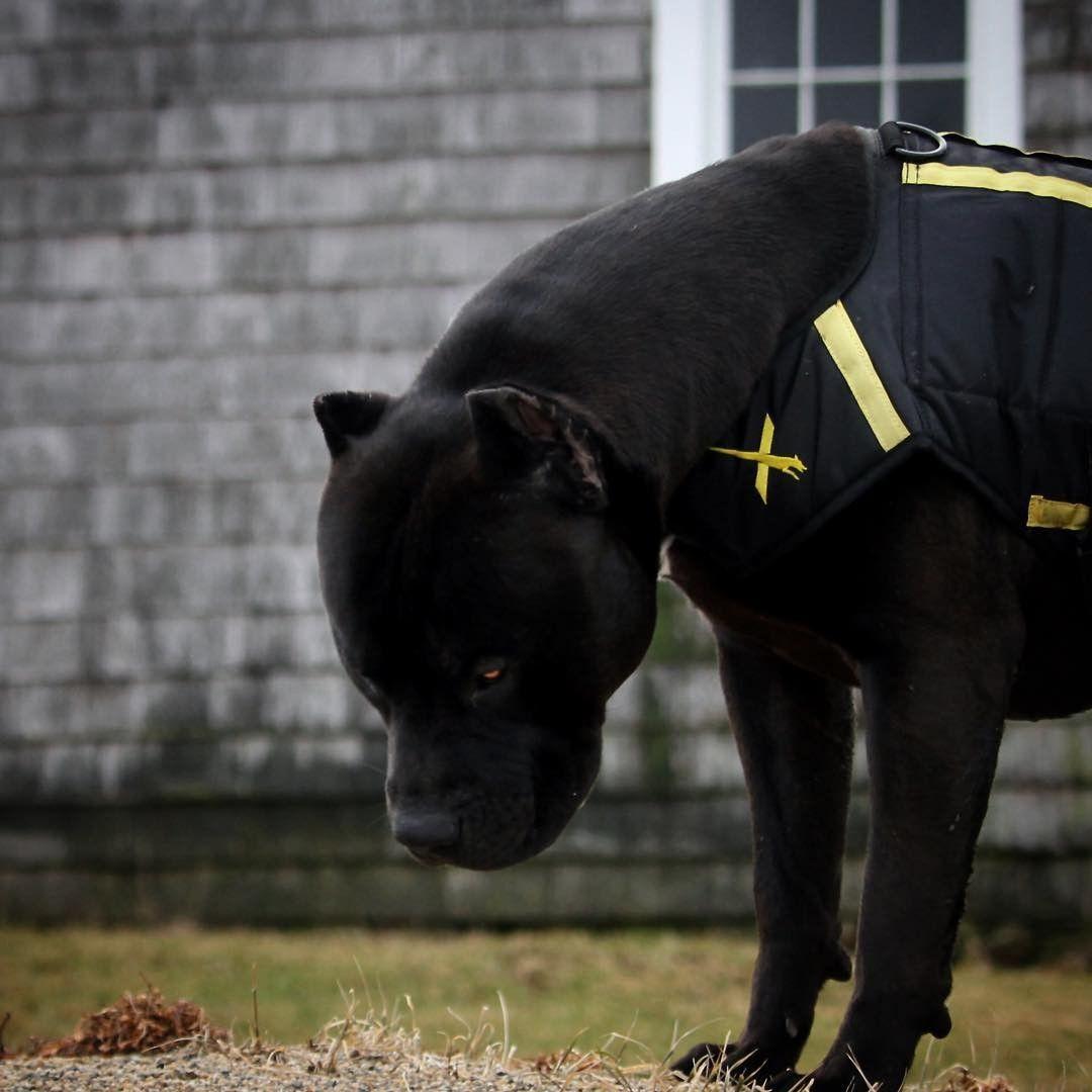 Oh My Gosh Love Giant Dog Breeds Black Pitbull Big Dog Breeds