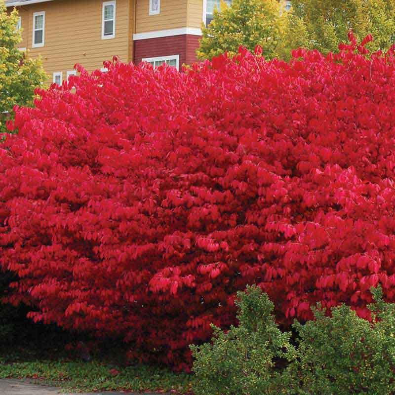 Compactus Burning Bush Fast Growing Hedge Plants Euonymus Alatus Euonymus Alatus Compactus