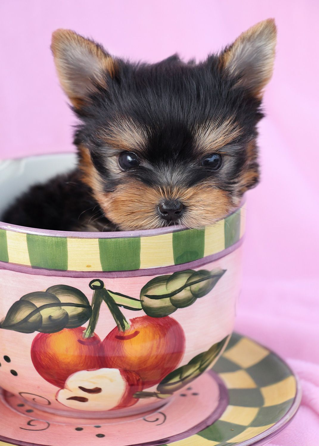 Gorgeous Teacup Yorkie Puppy By Teacups Puppies Boutique
