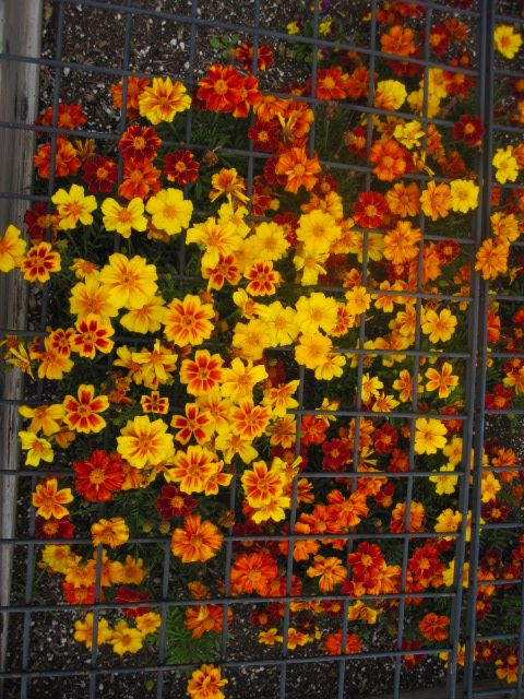 Nature S Own Pest Control Marigolds Repel Insects French