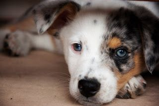 Puppy Love Puppies Puppy Love Heeler Mix