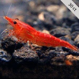 Red Cherry Shrimp For Sale The Shrimp Farm Red Cherry Shrimp Freshwater Aquarium Shrimp Cherry Shrimp