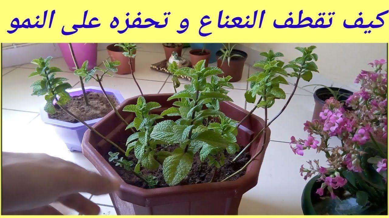 كيف تقطف النعناع بطريقة صحيحة لتحفزه على النمو جيدا Https Youtu Be Bceczg8cqj0 Plants Gaj