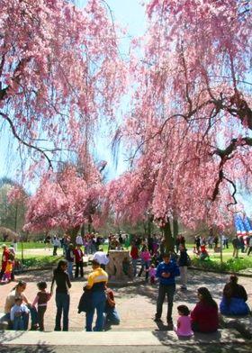 Uwishunu The Best Things To Do In Philadelphia Cherry Blossom Festival Visit Philly Cherry Blossom