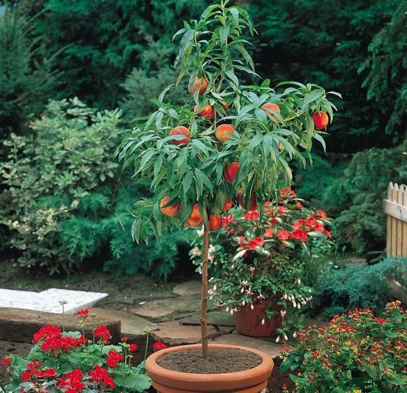 Patio Pear Trees Conf Doy Du Com 9cm Pot Imagine The Pleasure Of Harvesting And Eating Your Own Home Grown Pears Dwarf Fruit Trees Potted Trees Fruit Garden