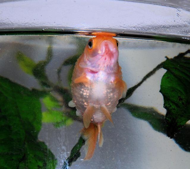 How To Diagnose And Treat Dropsy In Aquarium Fish Aquarium Fish Tropical Freshwater Fish Fish