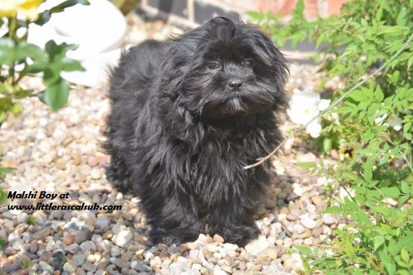 Maltese Puppies In Lincoln Lincolnshire Puppies For Sale