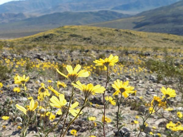 Breathtaking wildflowers in death valley spring to life ahead of breathtaking wildflowers in death valley spring to life ahead of possible superbloom mightylinksfo