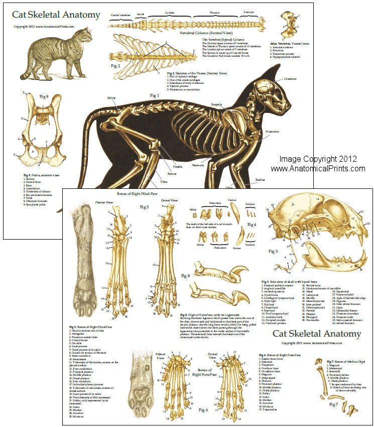 "Cat Skeletal Anatomy Laminated Chart 8.5"" X 11"" (21.6 cm X"
