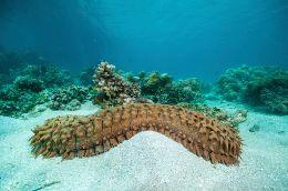 Sea Cucumber Facts