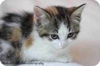 Medford Nj Ragdoll Meet Daisy A Kitten For Adoption Http Www Adoptapet Com Pet 15565649 Medford New Jersey Kitten Kitten Adoption Kittens Pet Adoption