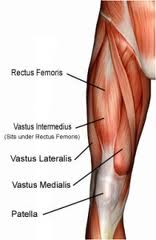 Anatomy of the Quadriceps Muscle. Although there is an inevitable ...