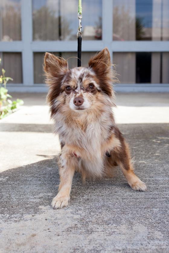 Adopt St Clair On Cute Dogs Breeds Merle Chihuahua Cute Chihuahua