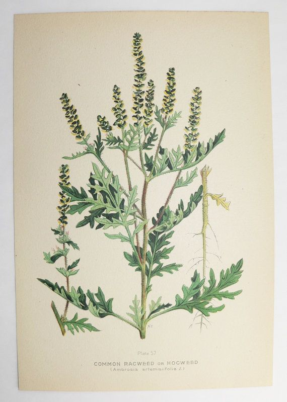Ragweed Plant Botanical Print 1923 Vintage Flower Print Gift For New Home Cottage Garden