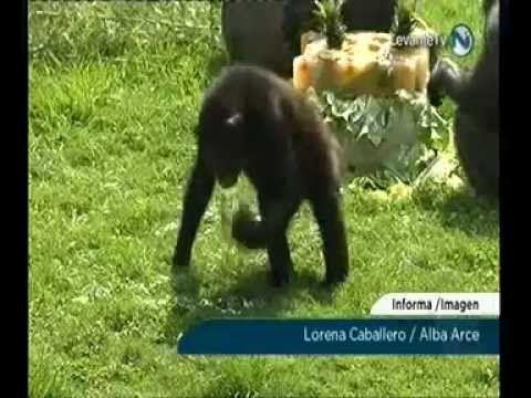 La chimpancé Chispi celebra su 25 cumpleaños