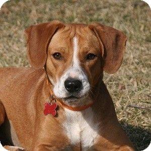 Potomac, MD Beagle/Boxer Mix. Meet Lea a Dog for