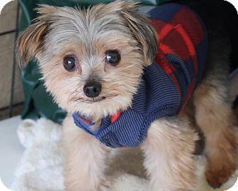 New City Ny Yorkie Yorkshire Terrier Mix Meet Phoenix A Dog