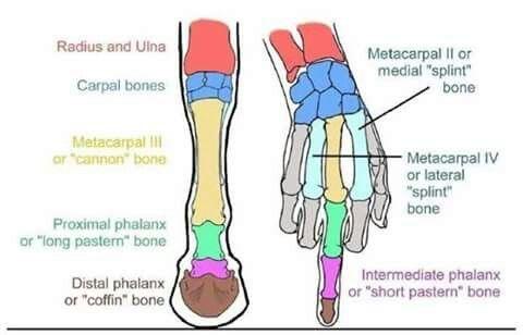 comparative anatomy | Veterinary Medicine | Pinterest | Anatomy ...