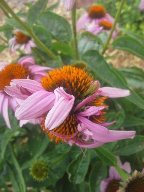 Aster Yellows On Coneflower Plant Problems Plants Garden