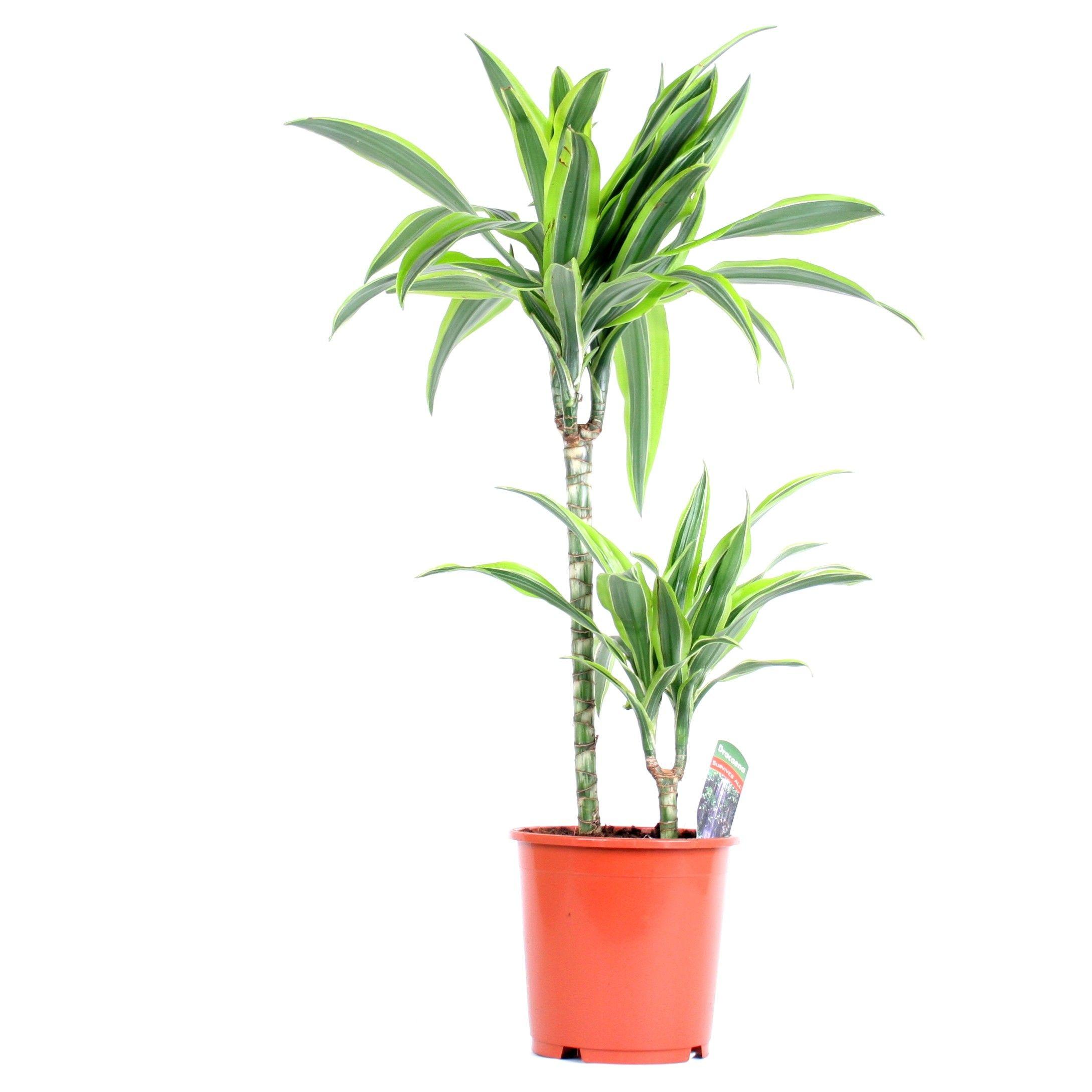 plante très solide ne demandant aucun entretien particulier arrosage