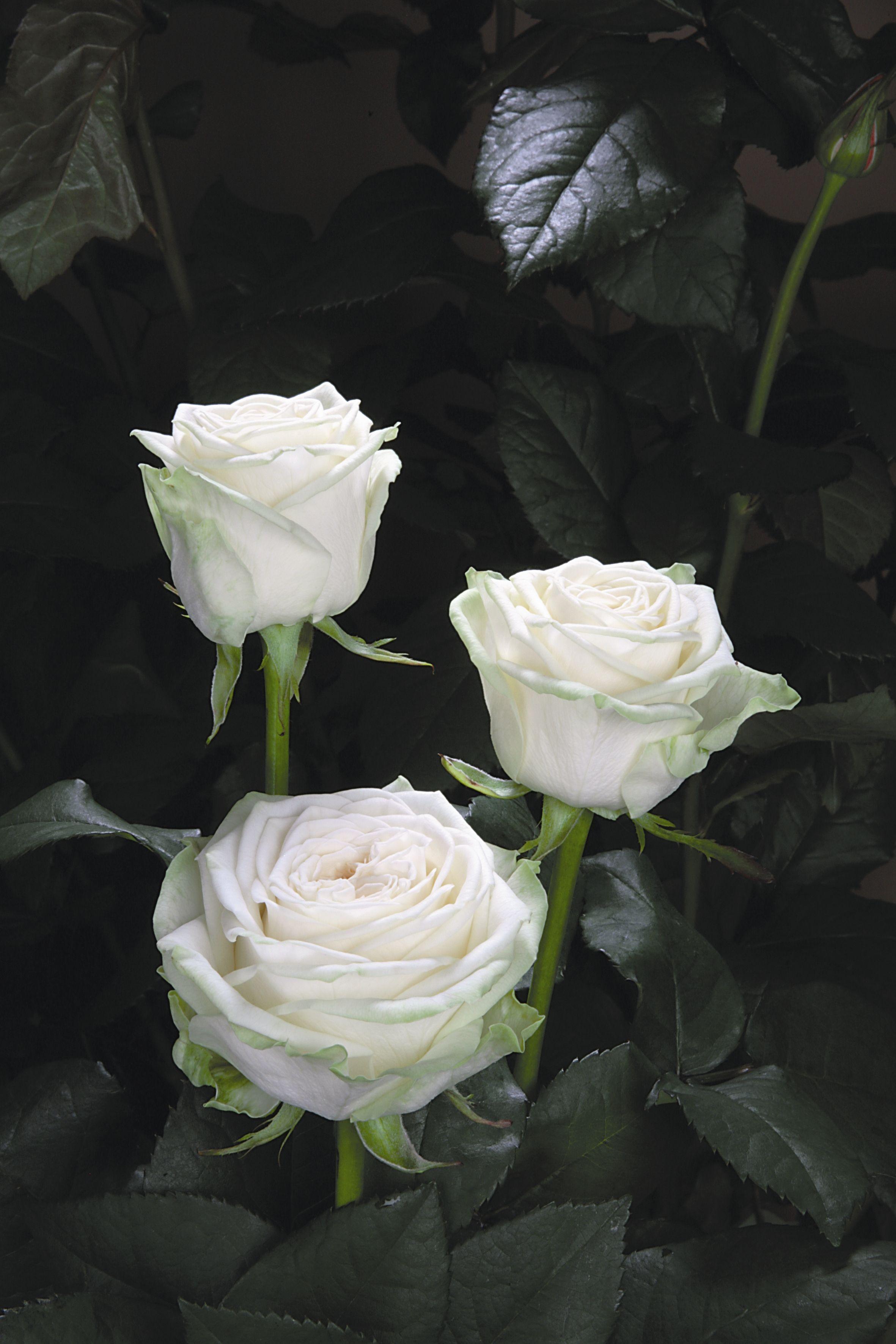 Floribunda rose 'Juwena', Rosen Tantau-Tan09716, Bred by Hans Jürgen Evers (Germany, 1988).   http://www.rosen-tantau.com/cms/index.php?article_id=544&clang=1