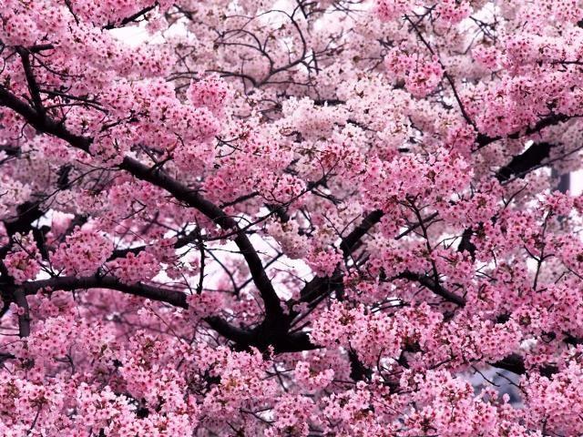 Cherry Tree Blossoms Japan 4 02 Sakura Tree Blossom Trees Flowering Trees