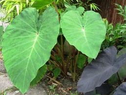 """Colocasia esculenta """"pink china"""" Zonder twijfel is deze Colocasia de meest kou tolerante en daardoor de meest geschikte Colocasia voor de Nederlandse tuinen. Zonder bescherming kan deze soort makkelijk een """"gewone"""" winter overleven. Bovengronds sterft hij af. In mei komt hij dan weer tevoorschijn. De groeisnelheid hangt af van de aangeboden hoeveelheid voeding en water. Van nature zijn Colocasia's oever/ moerasplanten. Ze houden dus van natte voeten in het groei seizoen. In de winter mogen…"""