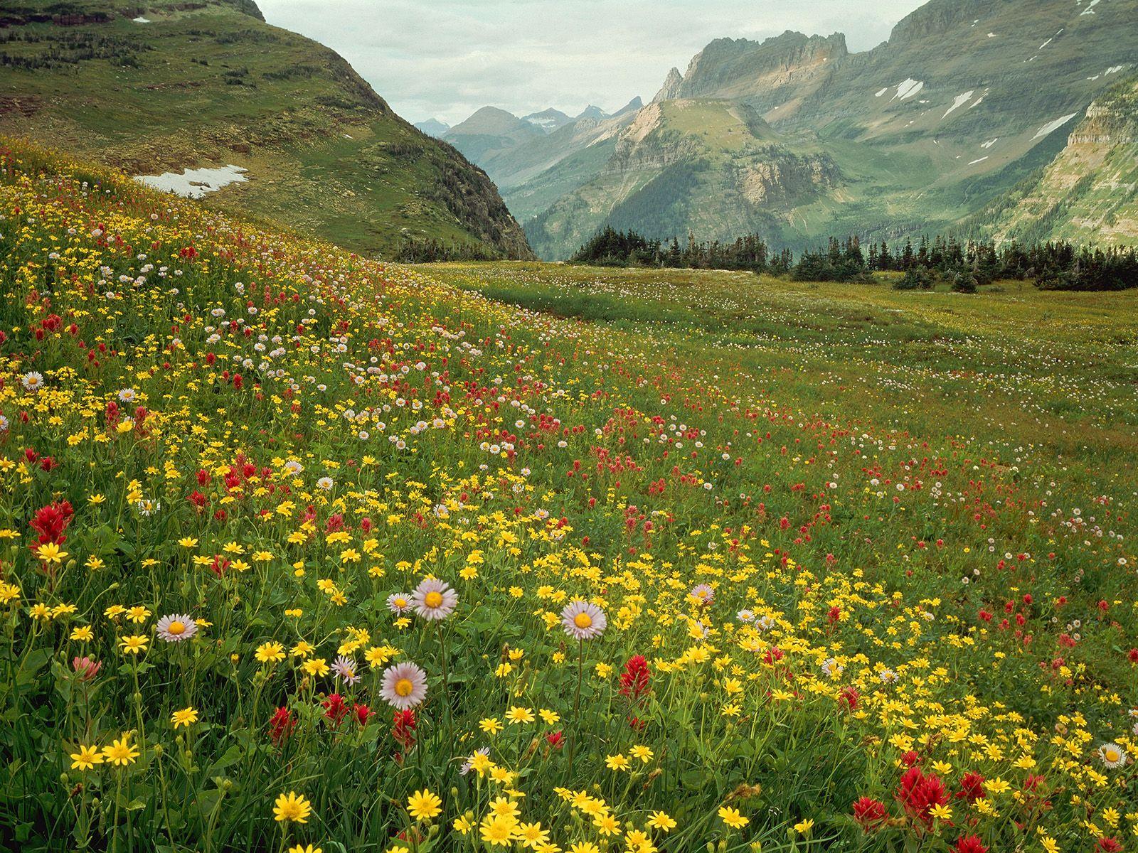 Alpine Park Alpine Wildflowers Glacier National Park Montana Been There